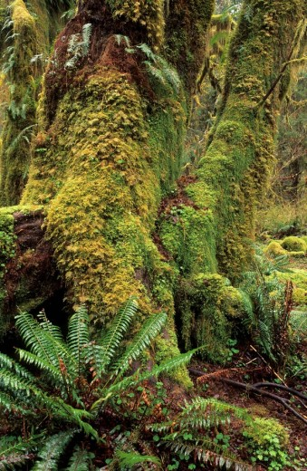 Trees overgrown with moss in the Hoh Rainforest of Olympic National Park : Stock Photo