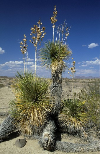 Stock Photo: 1848R-325978 Flourishing yucca at Big Bend National Park