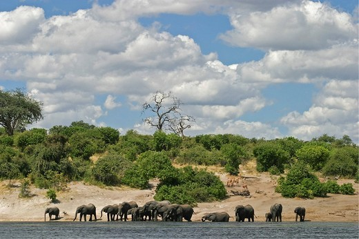 African Bush Elephants Loxodonta africana on the shores of Chobe River, Chobe River National Park, Botswana, Africa : Stock Photo
