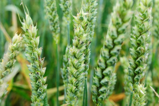 Stock Photo: 1848R-326998 Unripe green wheat ears