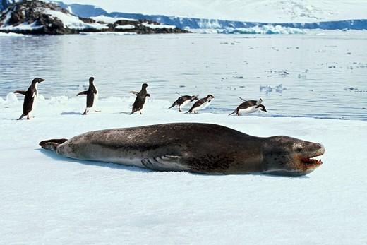 Stock Photo: 1848R-327030 Sea Leopard Hydrurga leptonyx, Adelie Penguins Pygoscelis adeliae, Hope Bay, Antarctica