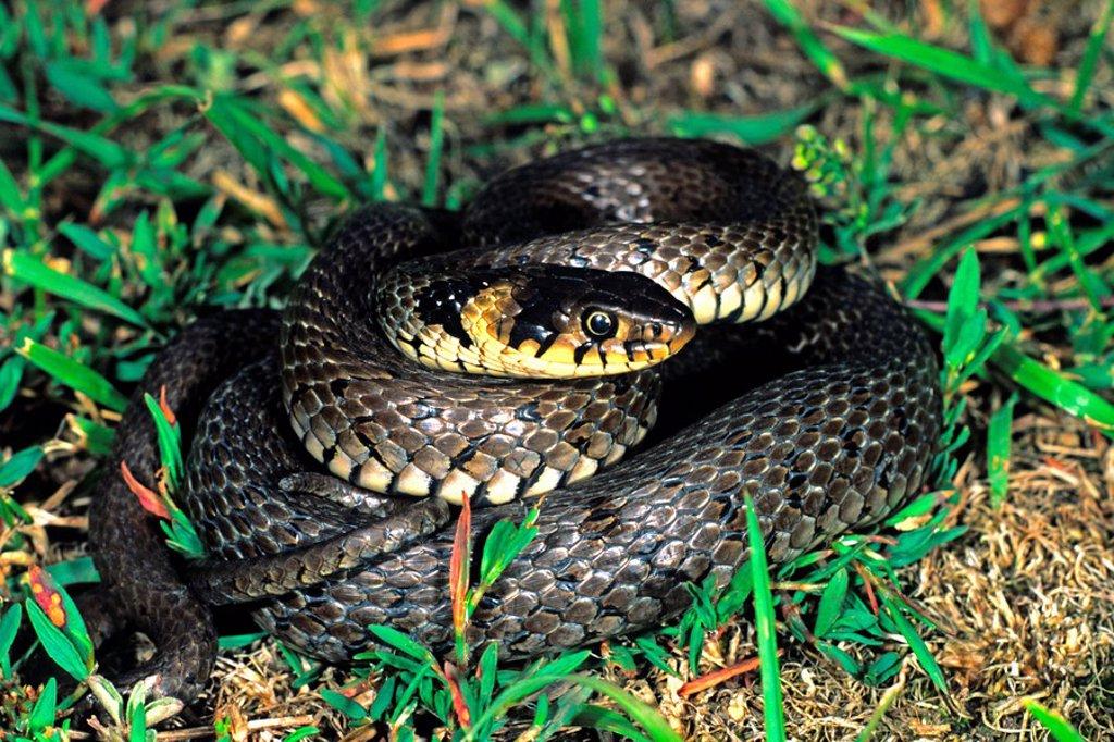 Grass Snake, Natrix natrix, defensive posture : Stock Photo