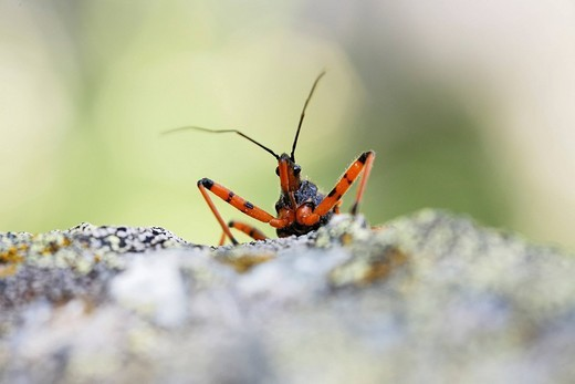Stock Photo: 1848R-327220 Assasin Bug Rhinocoris iracundus