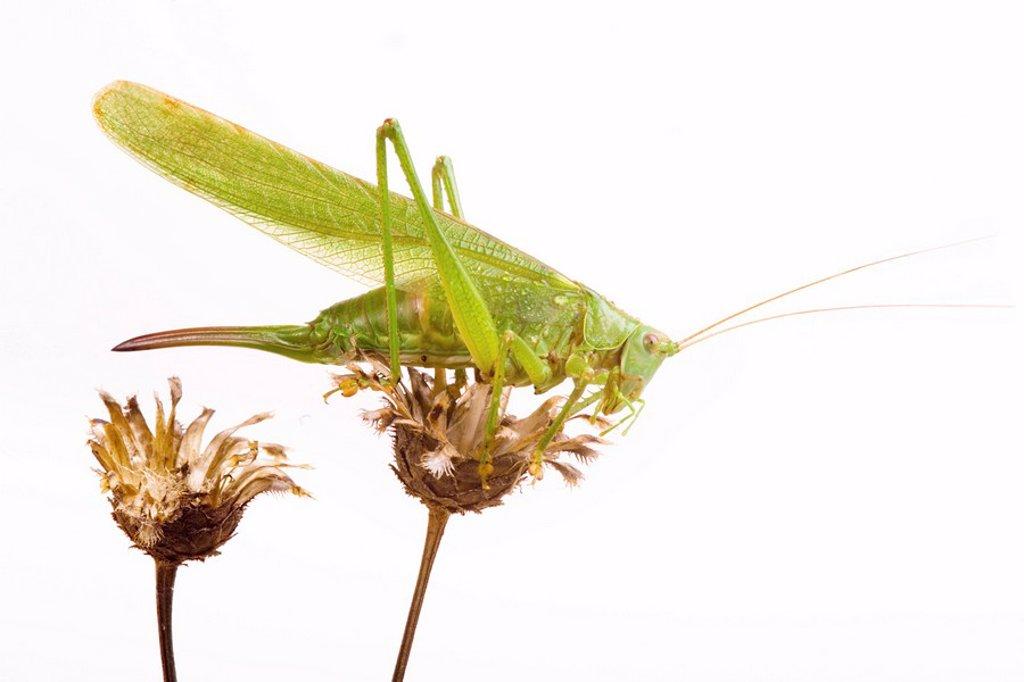 Great green bush cricket Tettigonia viridissima : Stock Photo