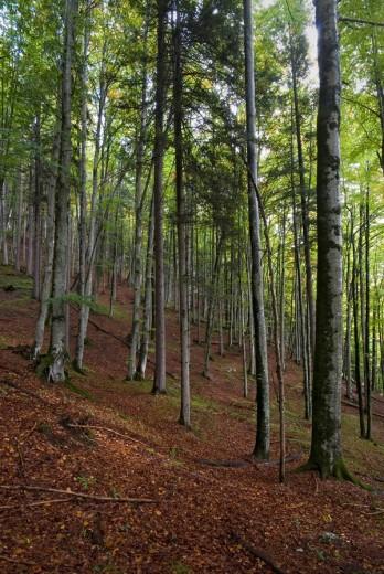 Beech grove Fagus, Vomperloch, Karwendel Range, Tyrol, Austria, Europe : Stock Photo