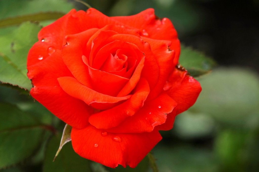 Stock Photo: 1848R-327813 Red Rose Rosa