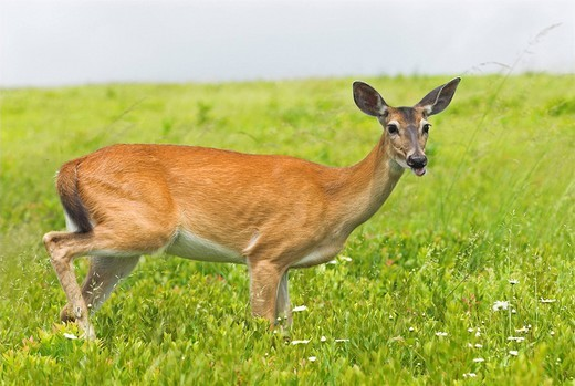 Stock Photo: 1848R-327970 Virginia White-Tailed Deer in Shenandoah National Park, Virginia, USA