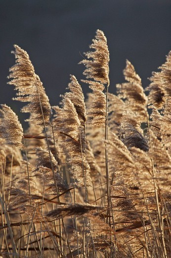 Reed at sunset : Stock Photo
