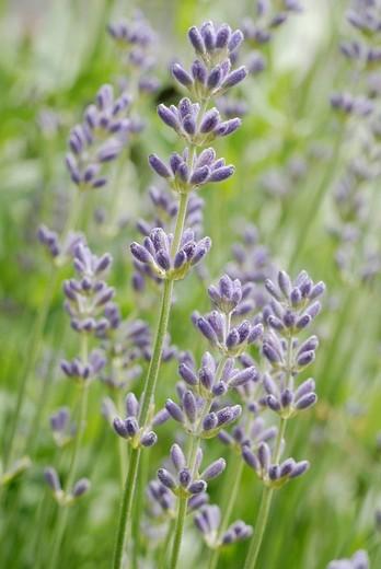 Lavender Lavandula officinalis, panicle : Stock Photo