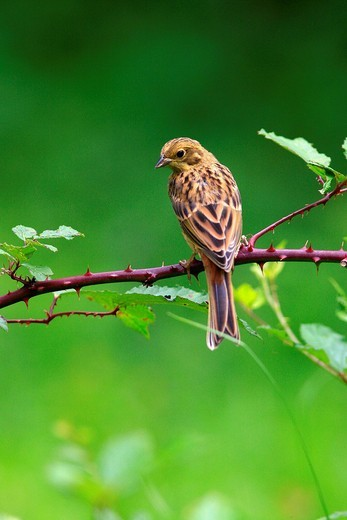 Stock Photo: 1848R-328782 Yellowhammer Emberiza citrinella