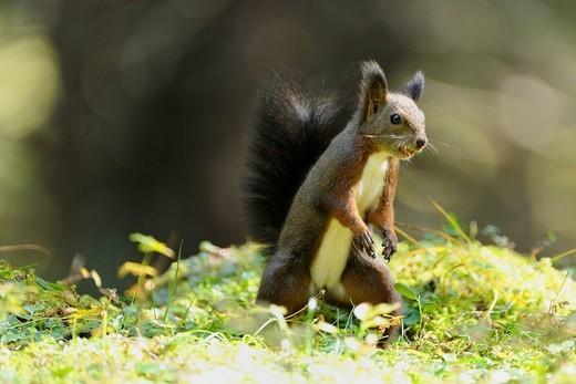 Squirrel Sciurus vulgaris : Stock Photo