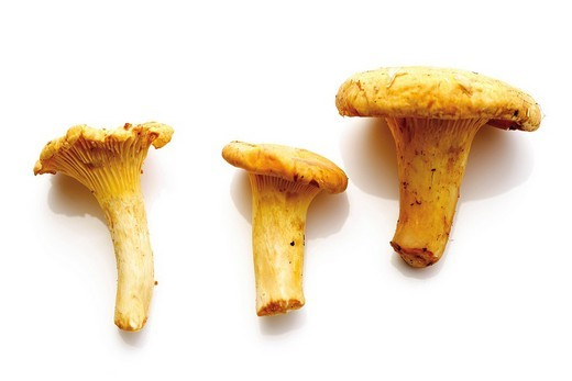 Stock Photo: 1848R-329570 Fresh Golden Chanterelle mushrooms Cantharellus cibarius