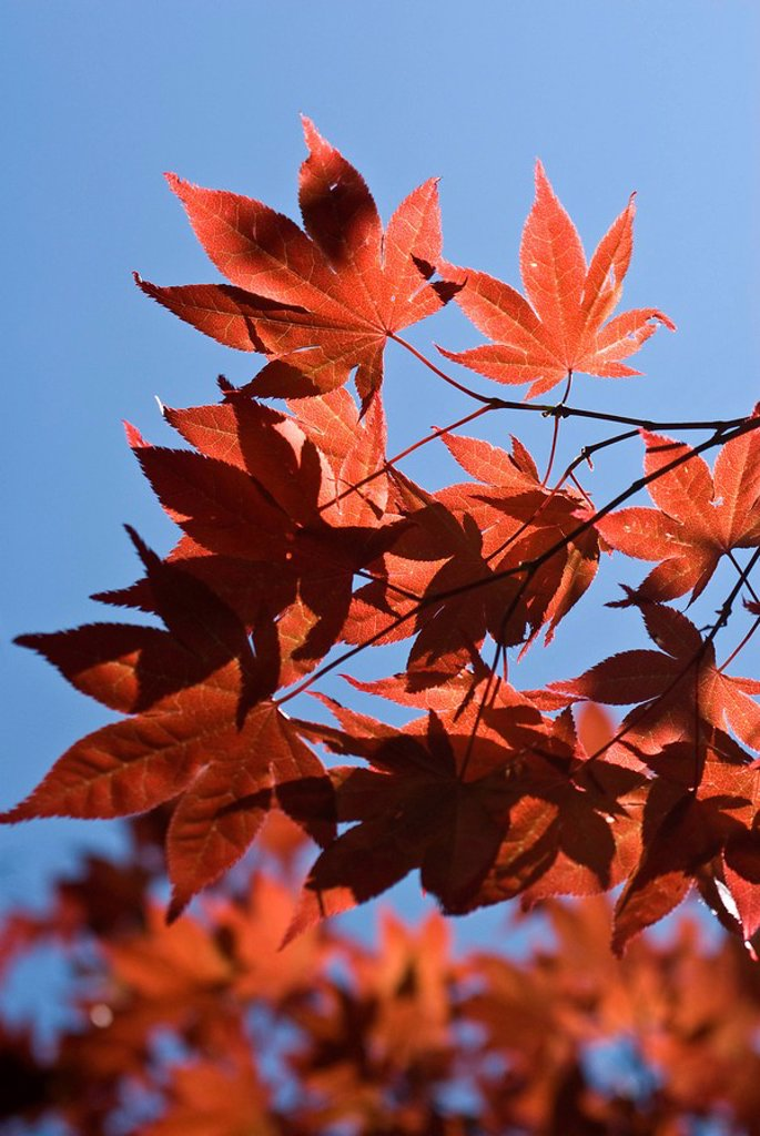 Stock Photo: 1848R-329714 Japanese Maple Acer palmatum