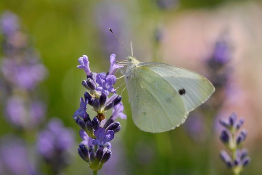 Large White Pieris brassicae on lavender blossom : Stock Photo