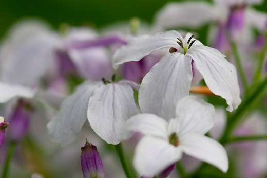 Lunaria rediviva, national park Bavarian Forest, Bavaria, Germany : Stock Photo