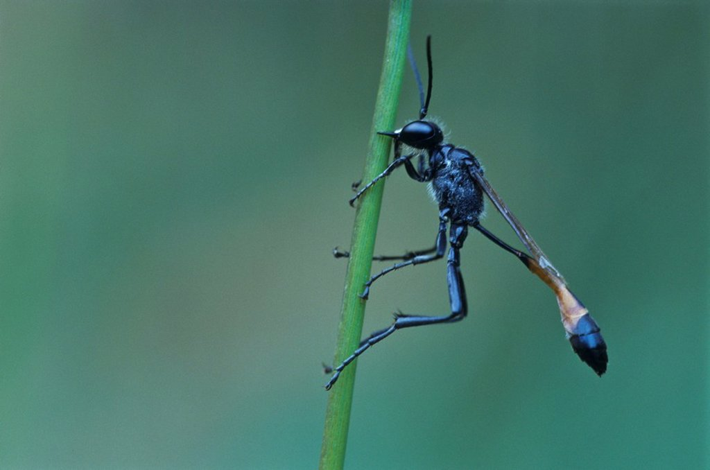 Stock Photo: 1848R-330346 Sand wasp Ammophila sabulosa