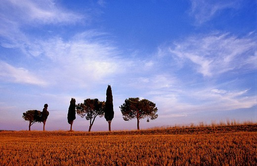 Stock Photo: 1848R-330440 Solitary group of trees at a harvested grain field near Montalcino Tuscany Italy