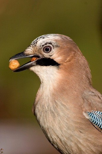 Portrait of jay with a nut in the beak : Stock Photo