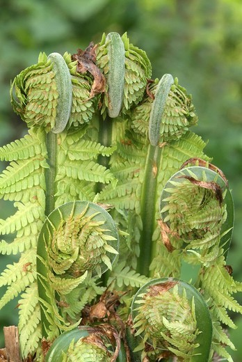 Stock Photo: 1848R-330718 Male Fern Dryopteris filix-mas, Schwaz, Tyrol, Austria, Europe