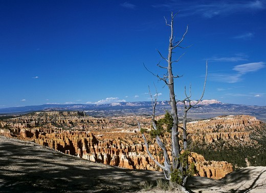 Stock Photo: 1848R-331208 Dead tree view from inspiration point, Bryce Canyon, Utah, USA