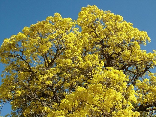 Close-up of the mass of the yellow flowers of the Trumpet tree Tabebuia caraiba, Gran Chaco, Paraguay : Stock Photo