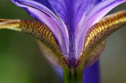 Stock Photo: 1848R-331369 Blue iris, bloom, detail, close up