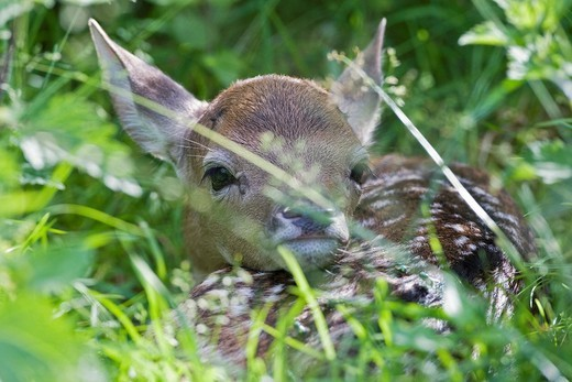 European fallow deer, fawn - Dama dama dama : Stock Photo
