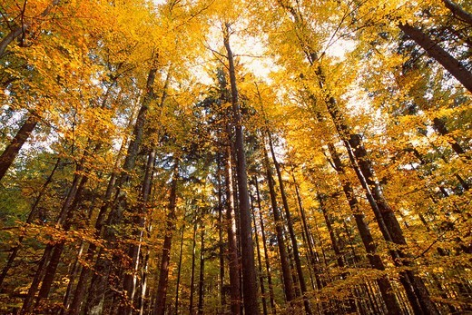 Beech grove Fagus in autumn, Tyrol, Austria, Europe : Stock Photo