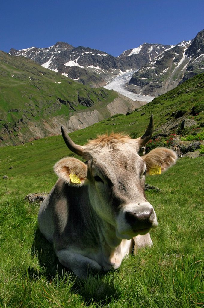 Stock Photo: 1848R-331890 Cow on a pasture