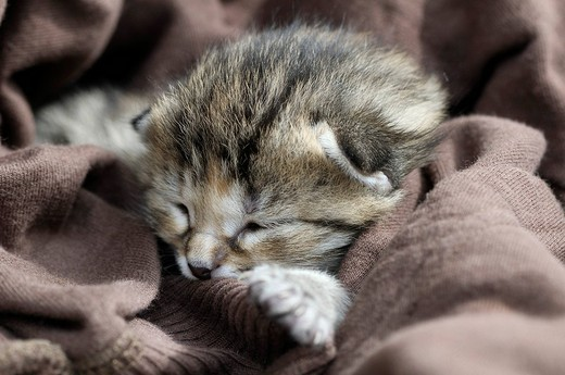 Stock Photo: 1848R-332243 Kitten, European Shorthair cat