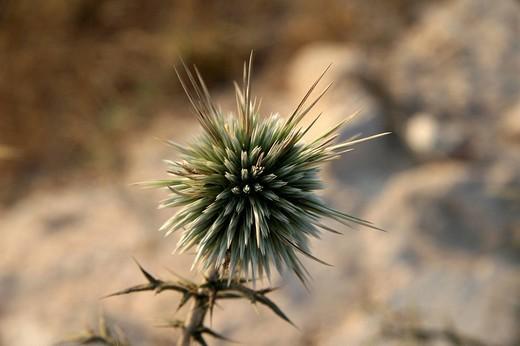 Stock Photo: 1848R-332467 Echinops, Cyprus