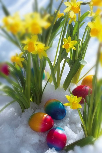Daffodils and coloured eggs in snow : Stock Photo