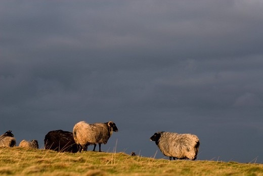 Sheep on a meadow at dusk, Helgoland Island, North Sea, Lower Saxony, Germany, Europe : Stock Photo