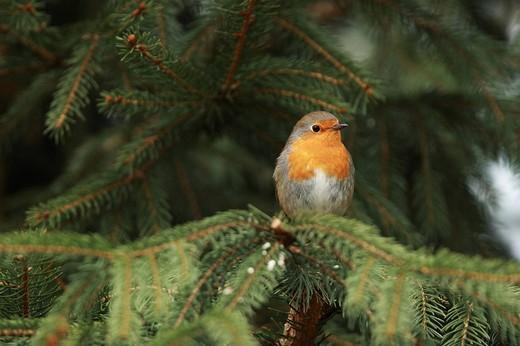 European Robin Erithacus rubecula : Stock Photo