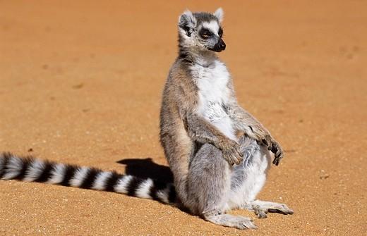 Stock Photo: 1848R-332927 Ring-tailed lemur Euarchontoglires, Primates, Strepsirhini, Lemuridae, Lemur catta, Madagascar
