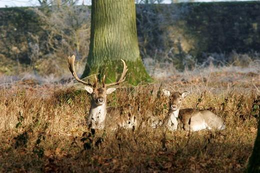 Stock Photo: 1848R-333236 Two fallow deers Dana dana are enjoying the warming sun, captive