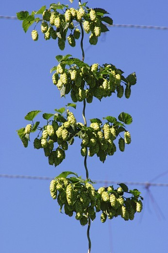 Modern way to cultivate hops : Stock Photo
