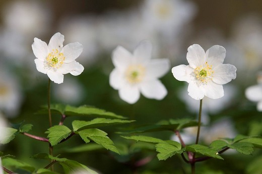 Close-up of a wood anemone Anemone nemorosa : Stock Photo