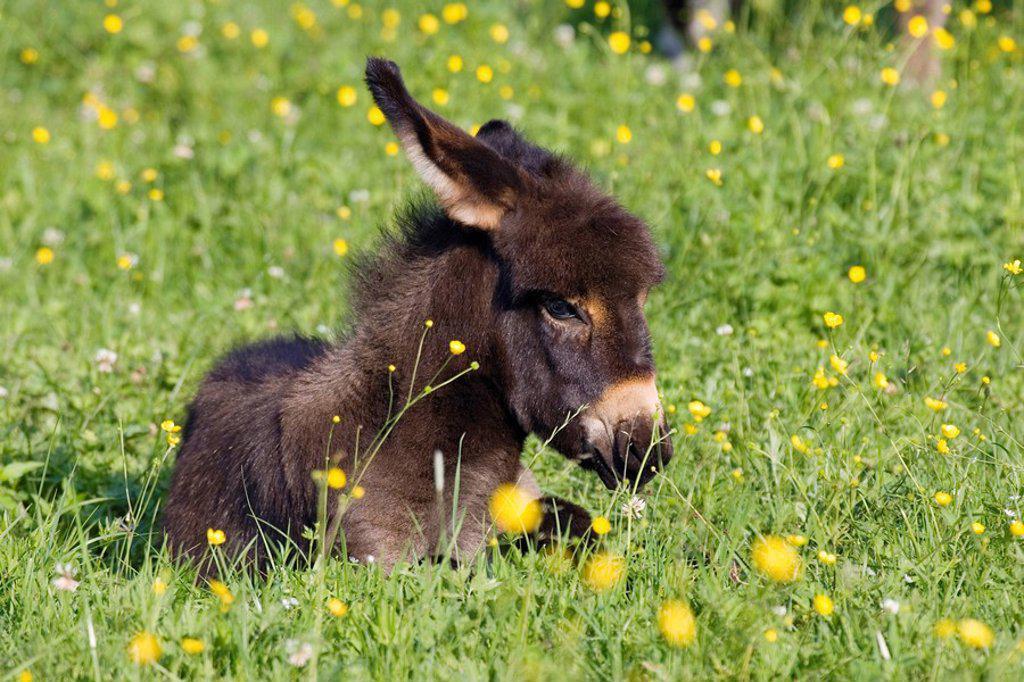Stock Photo: 1848R-333463 Donkey foal resting, Equus asinus, Bavaria Germany