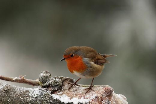 Robin Erithacus rubecula : Stock Photo