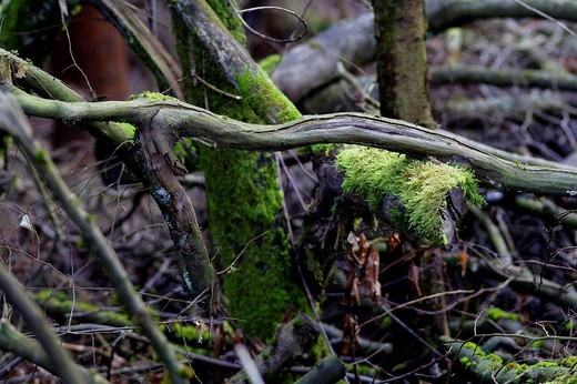 Intertwining branches, Lueerwald Forest, Sauerland, North Rhine-Westphalia, Germany, Europe : Stock Photo