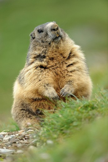 Alpine marmot Marmota marmota standing up : Stock Photo