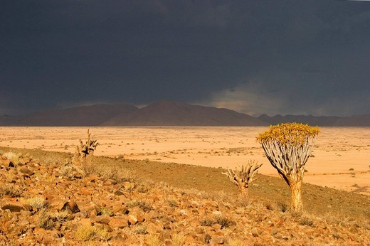 Dying quiver tree forest Aloe dichotoma with a upcoming thunderstorm  Tiras Mountains, Farm Koiimasis, Namibia : Stock Photo