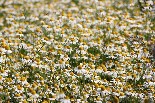 Field with German Chamomile Matricaria chamomilla : Stock Photo