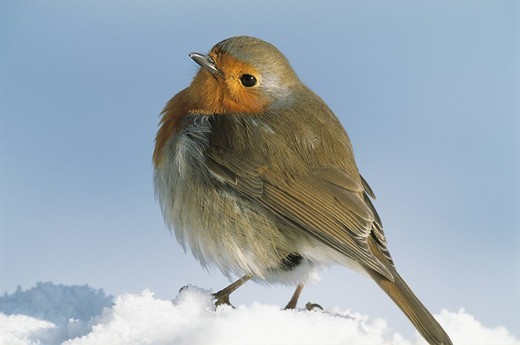 Portrait of Europaen Robin Erithacus rubecula close-up in snow : Stock Photo
