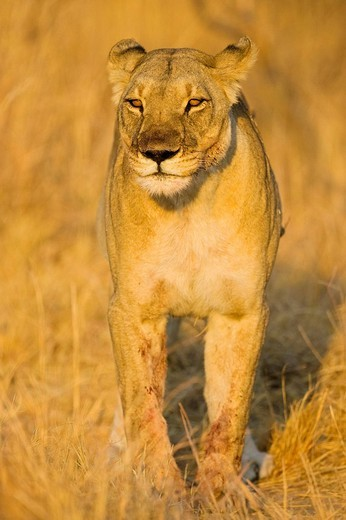 Lioness Panthera leo, Nxai Pan, Makgadikgadi Pans National Park, Botswana, Africa : Stock Photo