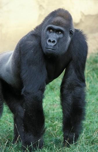 Lowland gorilla : Stock Photo