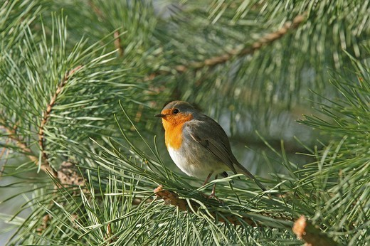 European Robin, Erithacus rubecula : Stock Photo