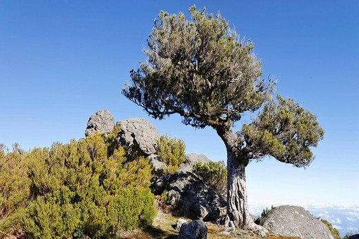 Tree heath Erica arborea, of which Bruyere wood is obtained from, Achada do Teixeira, Madeira, Portugal : Stock Photo