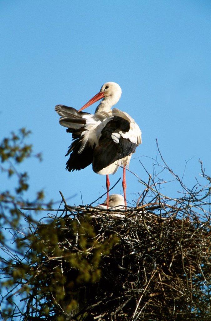 White Stork Ciconia ciconia nesting on salina, Rheine, Germany : Stock Photo
